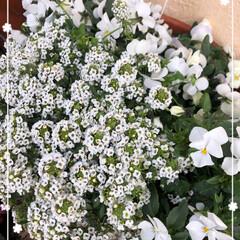 花のある暮らし/寄せ植え/アリッサム/ビオラ/住まい/暮らし/... アリッサムに押され気味な白のビオラさん。…