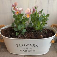 花のある暮らし/ガーデニング雑貨/ガーデニング/ビオラ/雑貨 ビオラ植えました。 またまた、色が可愛く…