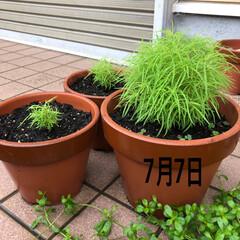 逆再生成長記録/ほうき草/コキア コキア🌱3兄弟。 逆再生、成長記録。  …(2枚目)