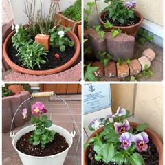 花のある暮らし/ガーデニング/アリッサム/カルーナ/寄せ植え/パンジー/... お花植えました🌼  白ビオラ、アリッサム…
