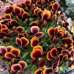 3COINS/ガーデニング雑貨/ガーデニング/寄せ植え/ビオラ/新生活/... 玄関先のお花が満開です。  1→小輪パン…(3枚目)