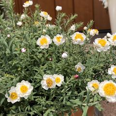 花のある暮らし/スターチス/花かんざし/暮らし 玄関の花かんざしが、またモリモリ咲いて来…