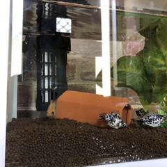 魚の居る暮らし/魚だよぉ〜/ダルメシアン犬じゃないよぉ/熱帯魚のモーリー/モーリー/ペット/... ぅんぅん!初めての挑戦。。 熱帯魚さん初…