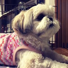 シーズ・アーキスタディオ/犬のいる暮らし/我がのアイドル/ピンク/暮らし 男なんですけど、、、ピンクを着てました!…