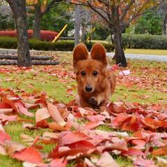 ミニチュアダックスフント/犬/散歩/公園/可愛い/落ち葉/... 公園で遊んでる時に撮った写真です。 真剣…