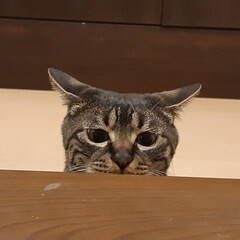ヤンチャ/猫族neko-zoku/フォロー大歓迎/LIMIAペット同好会/にゃんこ同好会/暮らし/... イカ耳ポコ H[ニャんだ❕あれニャ⁉️]…