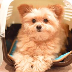ユナイテッドペッツ オートキャリー ピンク/ゼブラ 犬用・猫用・小動物用(キャリーバッグ、スリング)を使ったクチコミ「おはよーございます(๑•ω•๑)♡ さて…」