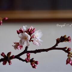 Nikon/RICOH/カメラ/桜/花/平成最後の一枚/... 桜撮り比べ。 1枚目RICOHのカメラ …