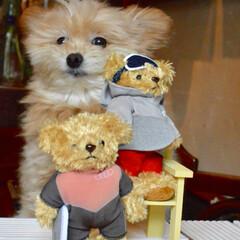 クマさん/ぬいぐるみ/テディベア/ポメプー/犬/LIMIAファンクラブ/... ころすけにそっくりな クマさん頂きました…