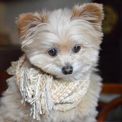 さをり織り/機織り/マフラー/草木染め/犬用グッズ/ハンドメイド/... 春の犬用ストール出来上がり💞🐶 モデル犬…