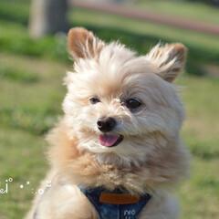可愛い/犬/ポメプー/ころすけ/おはよー。/お散歩/... おはよー。雨やんでるね〜♪ 今日も一日頑…