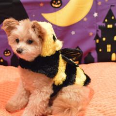 被り物/癒し/愛犬/ころすけ/ポメプー/犬/... 魔法のつえじゃないけれど ミツバチで飛べ…(2枚目)