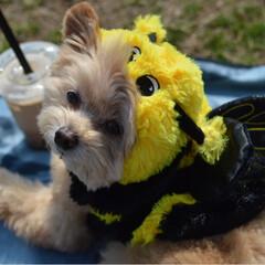 お散歩/被り物/LIMIAペット同好会/ペット/ペット仲間募集/犬/... 春になったらミツバチ出てきたよ(﹡ˆ﹀ˆ…
