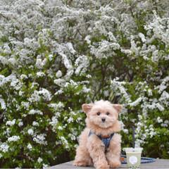 春の風景/春/犬と花/ユキヤナギ/花/LIMIAペット同好会/... 見事なユキヤナギ❁✿✾  ✾✿❁︎(Ŏ艸…