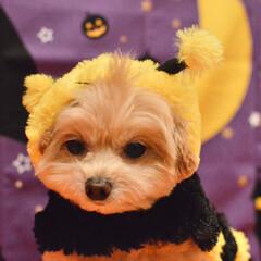 被り物/癒し/愛犬/ころすけ/ポメプー/犬/... 魔法のつえじゃないけれど ミツバチで飛べ…(3枚目)
