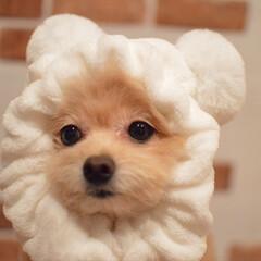 被り物/犬/ポメプー/ころすけ/LIMIAペット同好会/わんこ同好会/... 可愛いすぎる💕 ポン・デ・リングに似てる…
