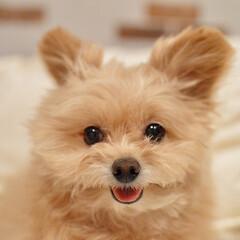 大好き/ポメプー/可愛い/癒し/笑顔/犬派/... 今日は相当疲れた😲 けどこの子に癒される…