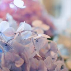花/紫陽花/犬派/令和の一枚/フォロー大歓迎/LIMIAファンクラブ/... たまにはお花も(๑•ω•๑) 3色の綺麗…