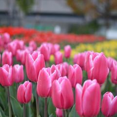 赤白黄色/Flower/六甲アイランド/チューリップ畑/チューリップ/花/... チューリップ畑  可愛い色で可愛いチュー…