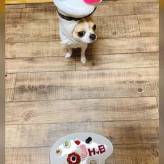 LIMIA手作りし隊/仲良しわんこ/犬大好き/たるちゃん/スムースチワワ/チワワ部/... 昨日はたるちゃんの3歳のお誕生日でした🎂…