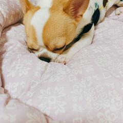 寝顔/寝顔大好き/たるちゃん/スムチー/多頭飼い/チワワ/... たるちゃんおねむ(。´-д-)。o○Zz…