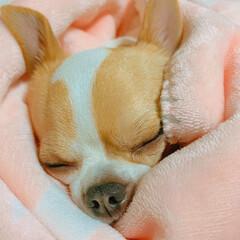 おやすみ/おやすみフォト/おやすみベストショット/犬大好き/癒し/かわいい/... 毛布大好きっ子たるちゃん(◍•㉦•◍)๑…