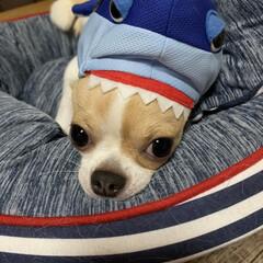 仲良しわんこ/着ぐるみ/たるちゃん/スムチー/多頭飼い/チワワ/... サメにガブリッ〈 ﹏´  ›› ∋  )…