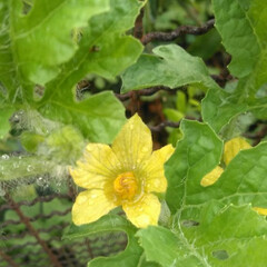 スイカ🍉/夏の果物/お出かけ/雨上がり🌈/朝露/花 きのうの朝🌄道端で見つけたスイカ🍉の花🌸…