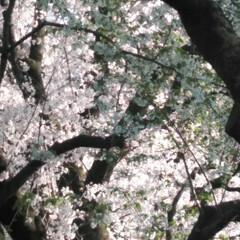 歩いて花見/桜🌸/お出かけ/リミアな生活/お散歩 お花見行きたいなぁ~何て思う今日この頃で…(4枚目)