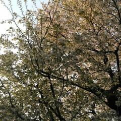歩いて花見/桜🌸/お出かけ/リミアな生活/お散歩 お花見行きたいなぁ~何て思う今日この頃で…(6枚目)