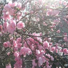 歩いて花見/桜🌸/お出かけ/リミアな生活/お散歩 お花見行きたいなぁ~何て思う今日この頃で…(1枚目)
