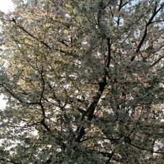 歩いて花見/桜🌸/お出かけ/リミアな生活/お散歩 お花見行きたいなぁ~何て思う今日この頃で…(7枚目)