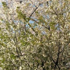 歩いて花見/桜🌸/お出かけ/リミアな生活/お散歩 お花見行きたいなぁ~何て思う今日この頃で…(3枚目)