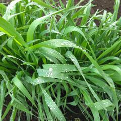 春雨/菜種梅雨/おでかけ/暮らし 雨☔の日の朝見つけた点景です  麦の葉に…