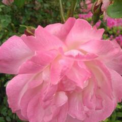 しずく/雨上がりの朝/道端の花/おしゃれ/こどもの日/母の日/... 道端の花🌸パート2です これも先日、雨上…