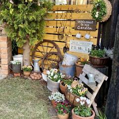 ビオラ/枕木オブジェ/車輪オブジェ/庭づくり/庭/ラティスフェンス/... 2年程前にすのこでラティスフェンスを作っ…