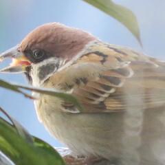 野鳥/はじめてフォト投稿/風景/鳥好き ベランダに来たすずめちゃん 大きめのご飯…