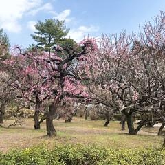 梅の花/LIMIAおでかけ部/フォロー大歓迎/おでかけ/風景/おでかけワンショット ・*:.。..。.*:.。. ・*:.。…