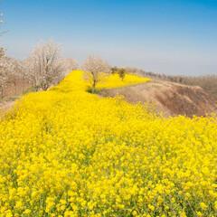 花園/花/植物/菜の花/春のフォト投稿キャンペーン/フォロー大歓迎/... ヒミツの花園のような場所を発見!  ずっ…(1枚目)