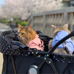 お散歩/お花見/プリンちゃん/パックちゃん/マロンちゃん/ネコジャポン/... 今日は暖かくお散歩日和だったので、にゃん…