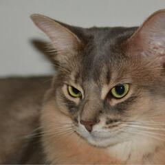ソマリ/nekonobi/猫大好き/猫好きさんと繋がりたい/ネコジャボン/LIMIAペット同好会/... うちの子紹介 ソマリのパックちゃん♂2歳…