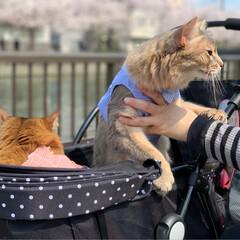 お散歩/お花見/プリンちゃん/パックちゃん/マロンちゃん/ネコジャポン/... 今日は暖かくお散歩日和だったので、にゃん…(5枚目)