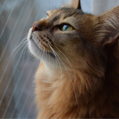 ネコジャボン/猫好きさんと繋がりたい/猫大好き/nekonobi/ソマリ/LIMIAペット同好会/... うちの子紹介 ソマリのマロンちゃん♀3歳…