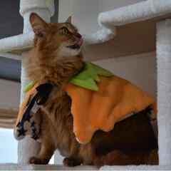 nekonobi/ソマにゃんず/ネコジャポン/ソマリ/猫大好き/インスタも宜しく/... ①カボチャマントのマロンちゃん ②ソマに…(1枚目)