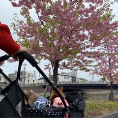 ネコジャポン/nekonobi/インスタアカウント:nekonob.../ソマリ/パックちゃん/マロンちゃん/... お花見🌸散歩 その3春のフォト投稿キャン…(4枚目)