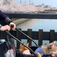 ネコジャポン/nekonobi/インスタアカウント:nekonob.../ソマリ/パックちゃん/マロンちゃん/... お花見🌸散歩 その2 春のフォト投稿キャ…(3枚目)