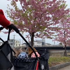 ネコジャポン/nekonobi/インスタアカウント:nekonob.../ソマリ/パックちゃん/マロンちゃん/... お花見🌸散歩 その3春のフォト投稿キャン…(3枚目)
