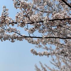 ネコジャポン/nekonobi/インスタアカウント:nekonob.../ソマリ/パックちゃん/マロンちゃん/... お花見🌸散歩 その2 春のフォト投稿キャ…(7枚目)