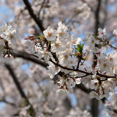 お散歩/お花見/プリンちゃん/パックちゃん/マロンちゃん/ネコジャポン/... 今日は暖かくお散歩日和だったので、にゃん…(3枚目)