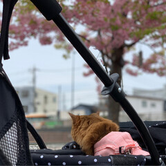 ネコジャポン/nekonobi/インスタアカウント:nekonob.../ソマリ/パックちゃん/マロンちゃん/... お花見🌸散歩 その3春のフォト投稿キャン…(8枚目)